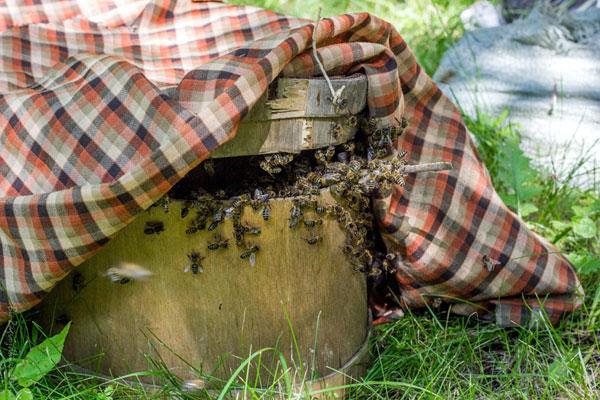 пчелиная среда