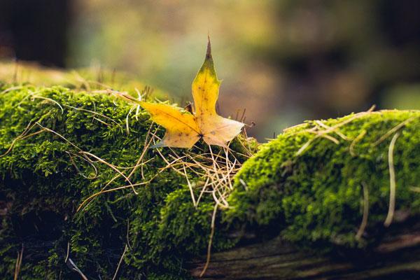 кленовый лист на мхе