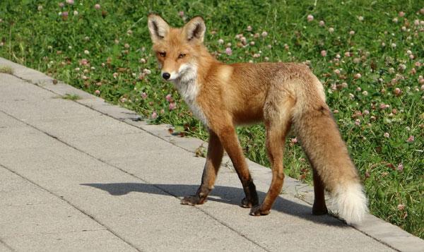 рыжая лиса в городе