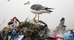 Чайка на мусорной куче